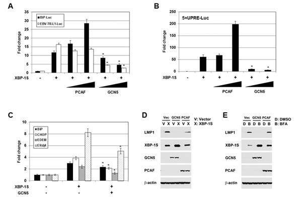 GCN5 negatively regulates XBP-1S-mediated transcription.