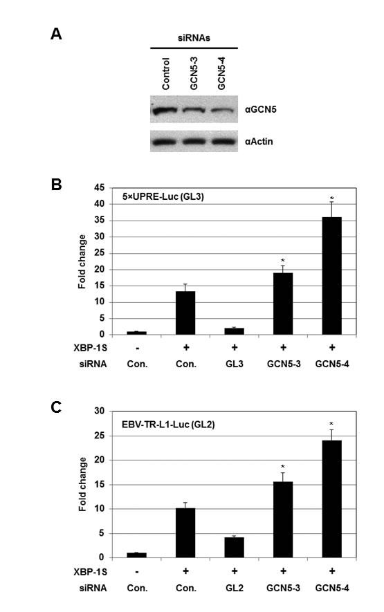 Knockdown of GCN5 stimulates XBP-1S-mediated transcription.