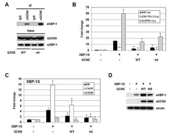 The HAT activity of GCN5 is not required for the inhibition of XBP-1S-mediated transcription.