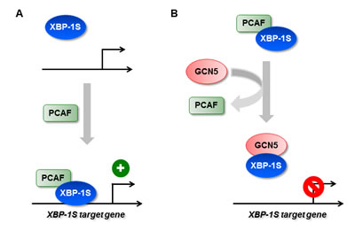 Regulation of XBP-1S activity by HATs.
