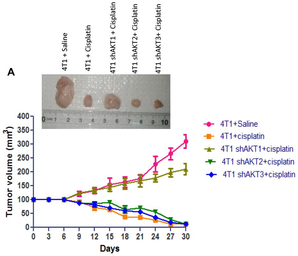 Down-regulation of AKT2 decreases tumorigenic capacity.