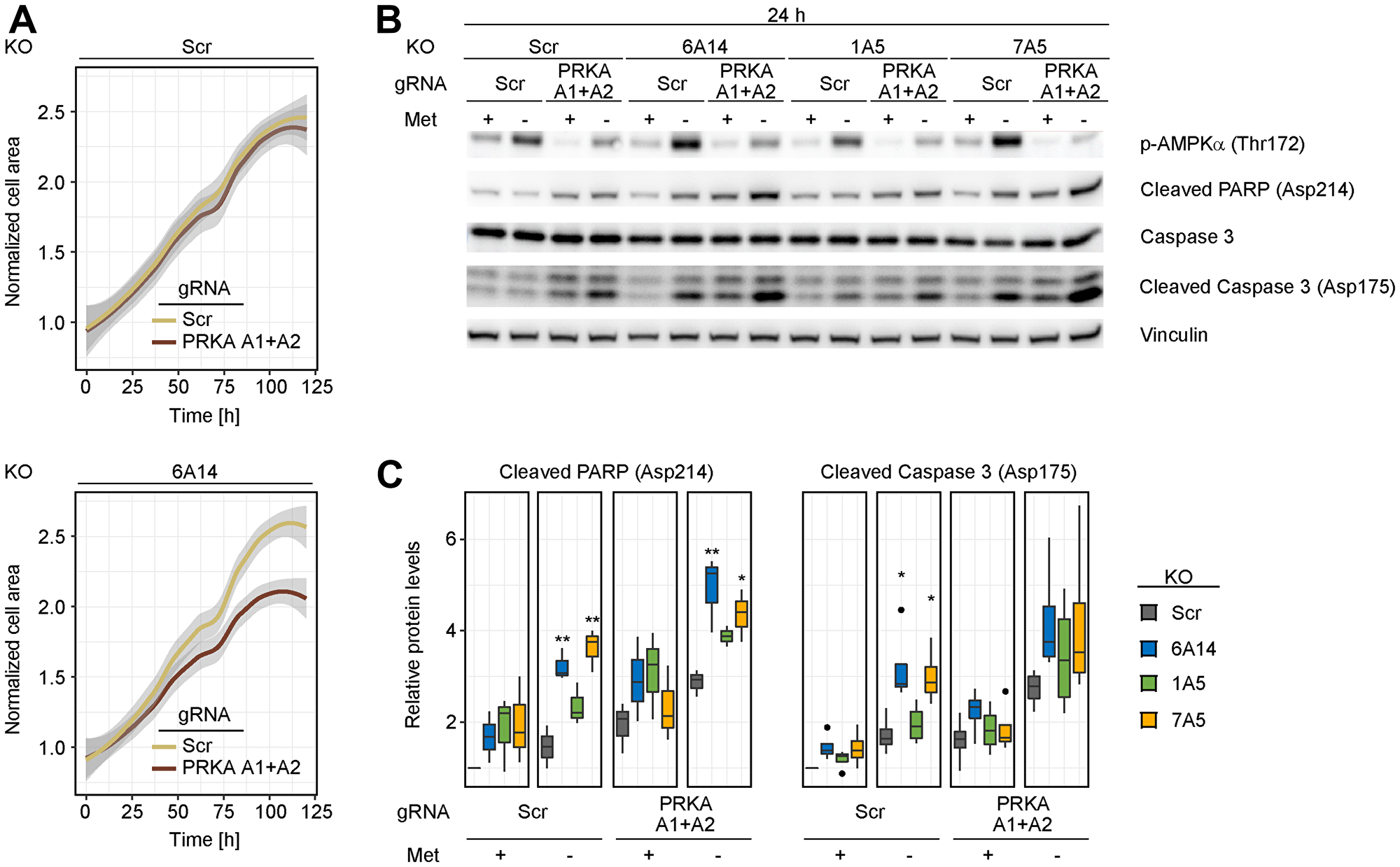 Combined depletion of AMPK and SLC6A14 induces cell death in response to methionine starvation.