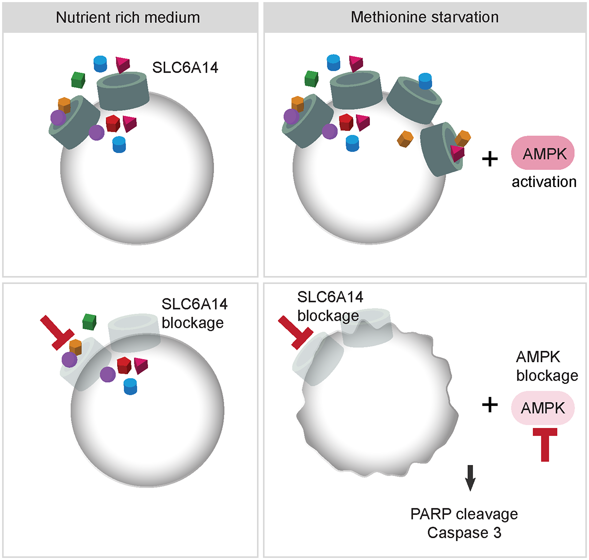 Model describing the effects of combined inhibition of SLC6A14 and AMPK.