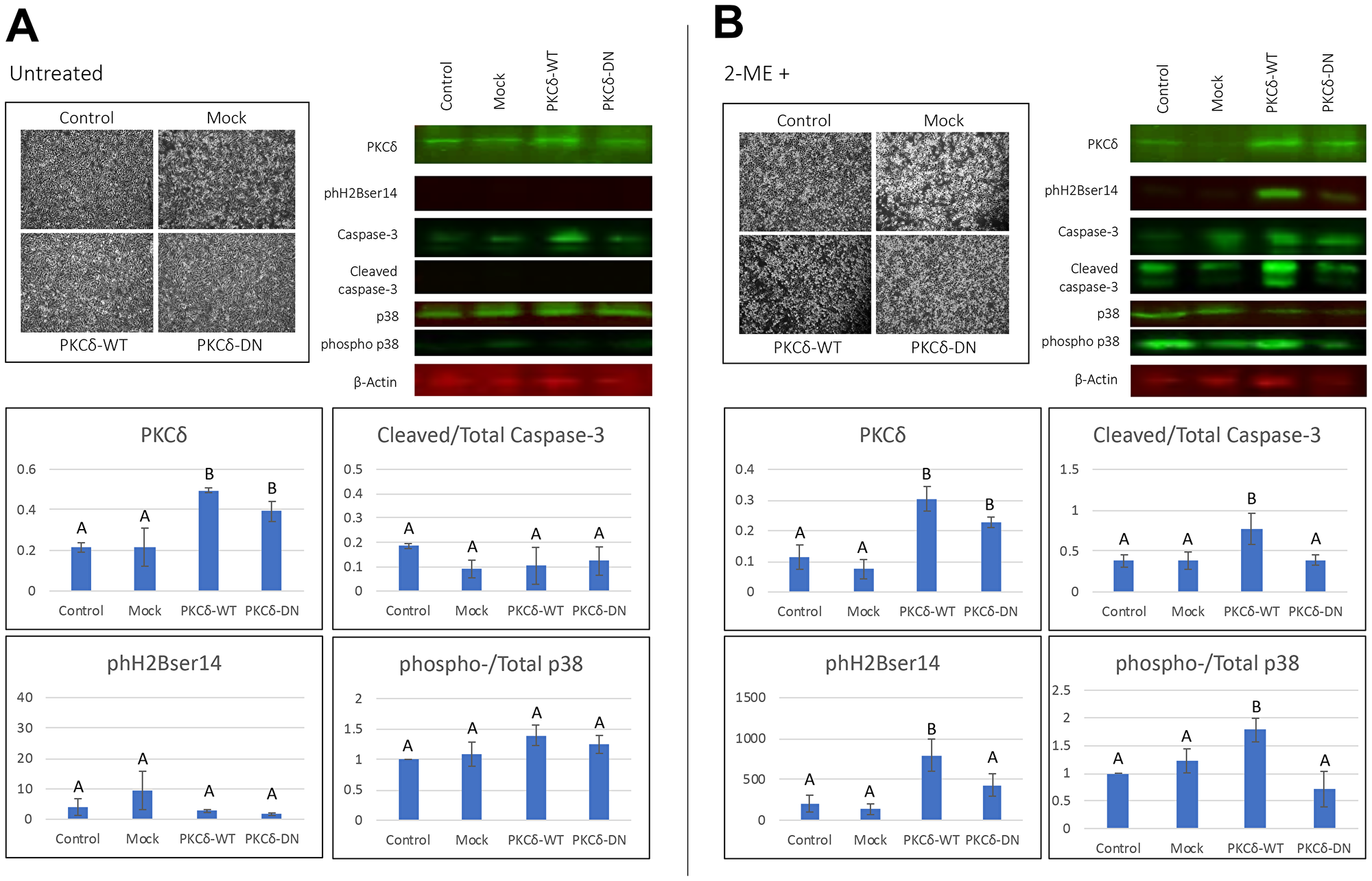 Effect of transient transfection of PKCδWT and PKCδDN to human ovarian cancer cells.