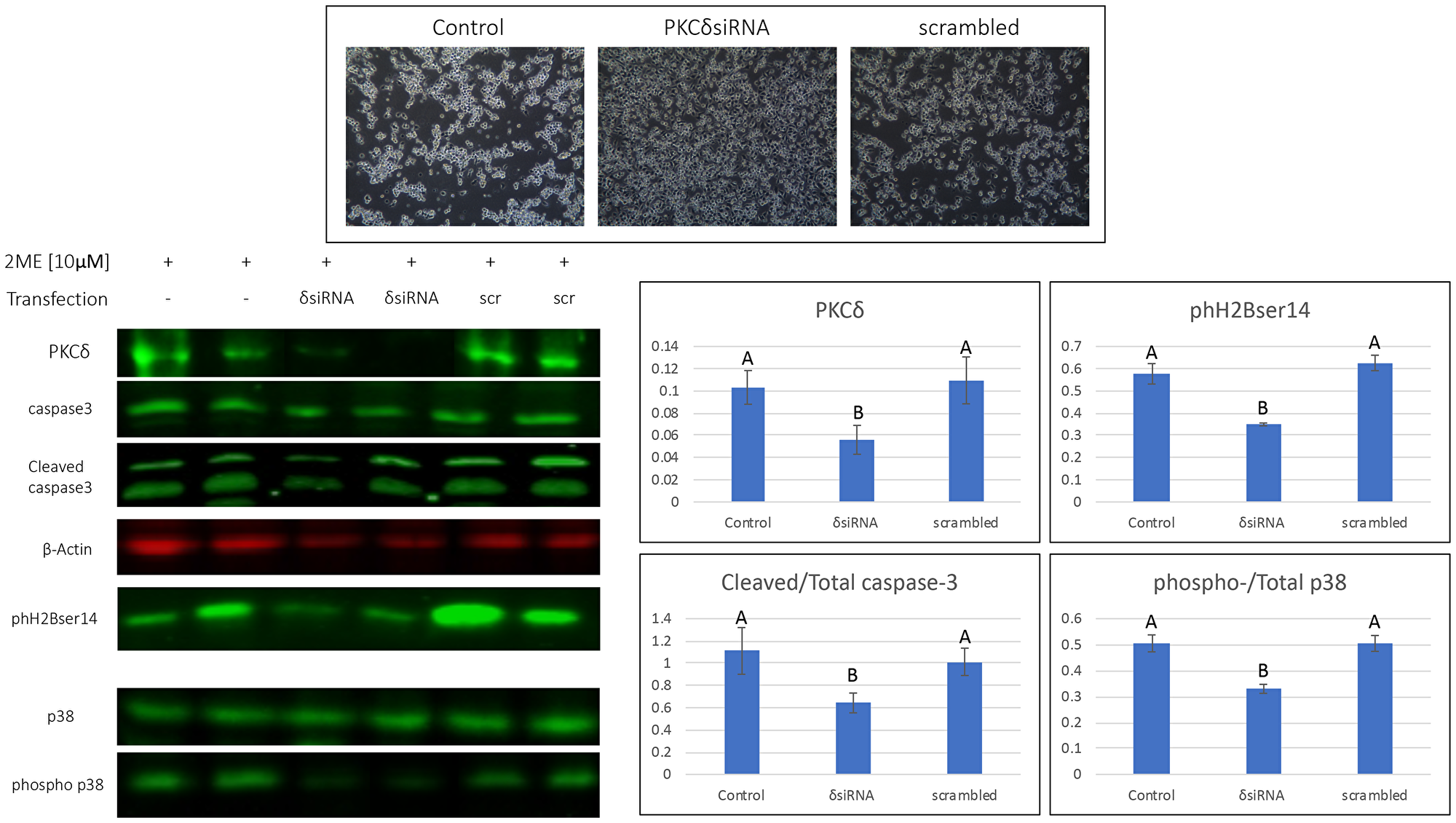 2MeOE2 effects on human ovarian cancer cells after silencing PKCδ.