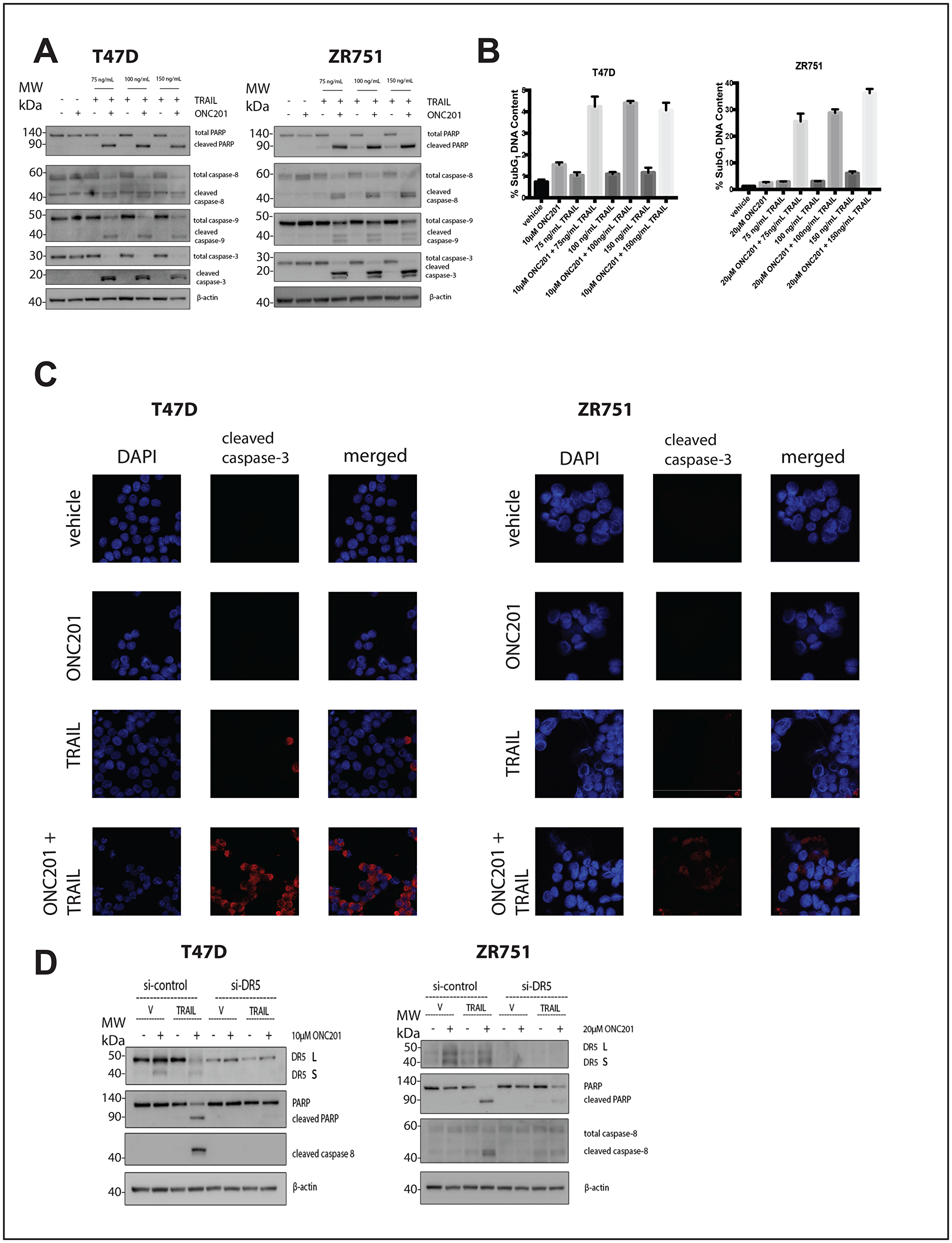 Addition of rhTRAIL converts the response of T47D and ZR751 breast cancer cells to ONC201 from anti-proliferative to pro-apoptotic in a DR5-dependent manner.