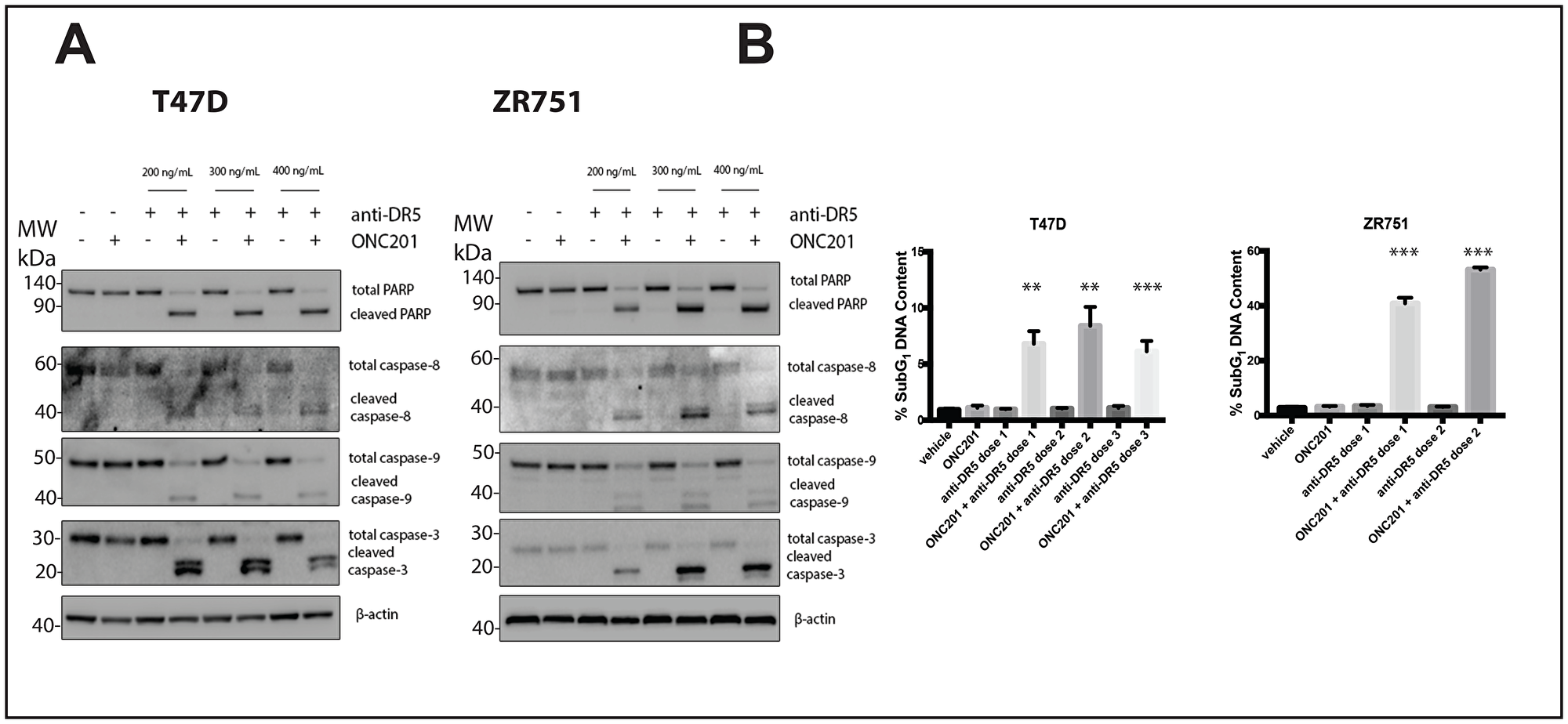 A DR5-agonistic antibody can also be used to convert the response of T47D and ZR751 breast cancer cells from anti-proliferative to pro-apoptotic.