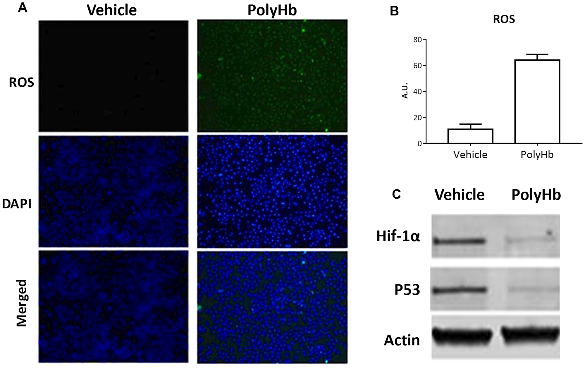 Effects of 0.05 g/dL PolyHb on ROS levels in A549 cells after 24 hours.