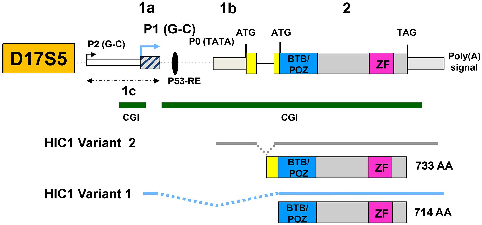 Genomic organization of the human HIC1 locus.
