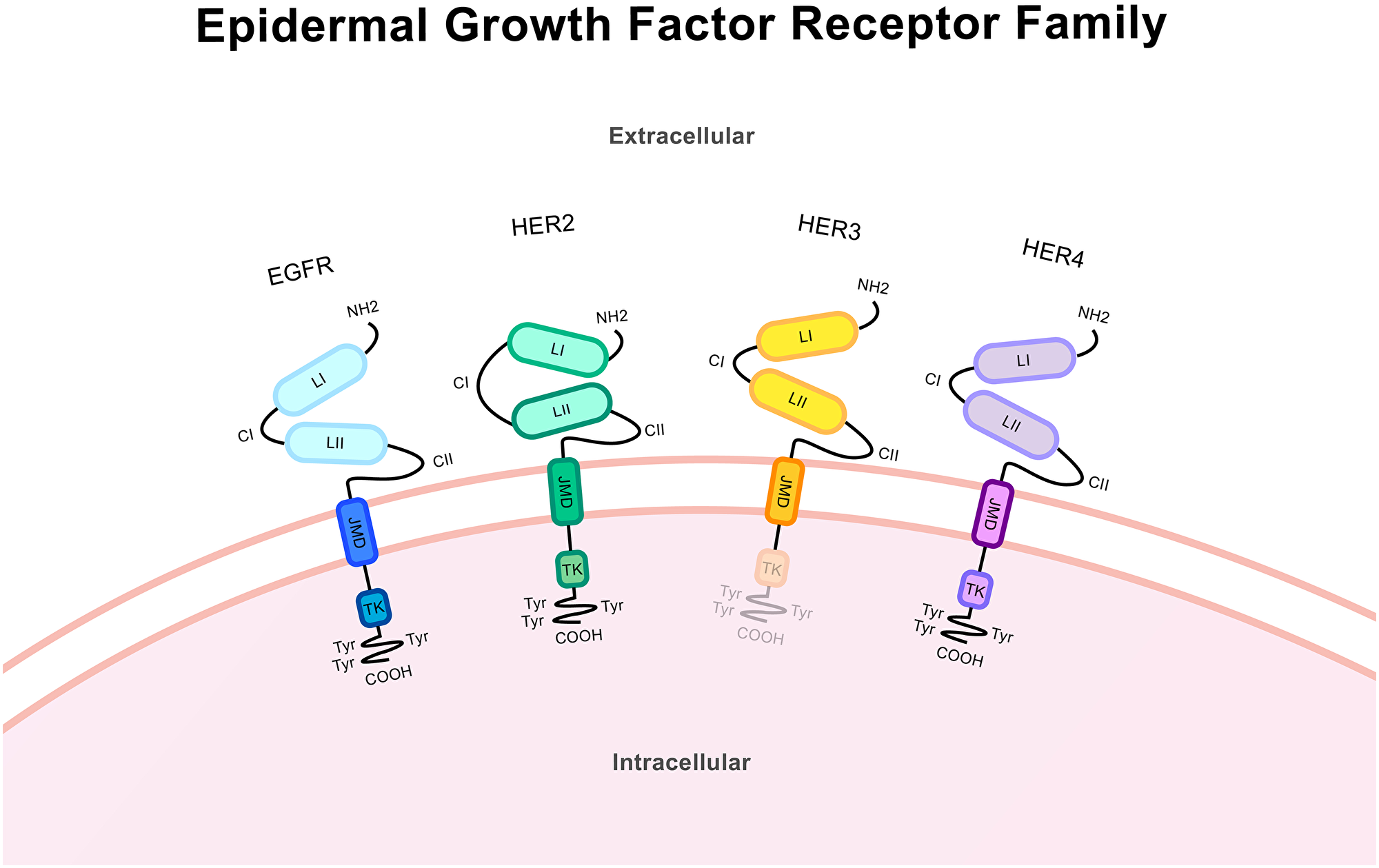 Protein structure of the epidermal growth factor receptor family.