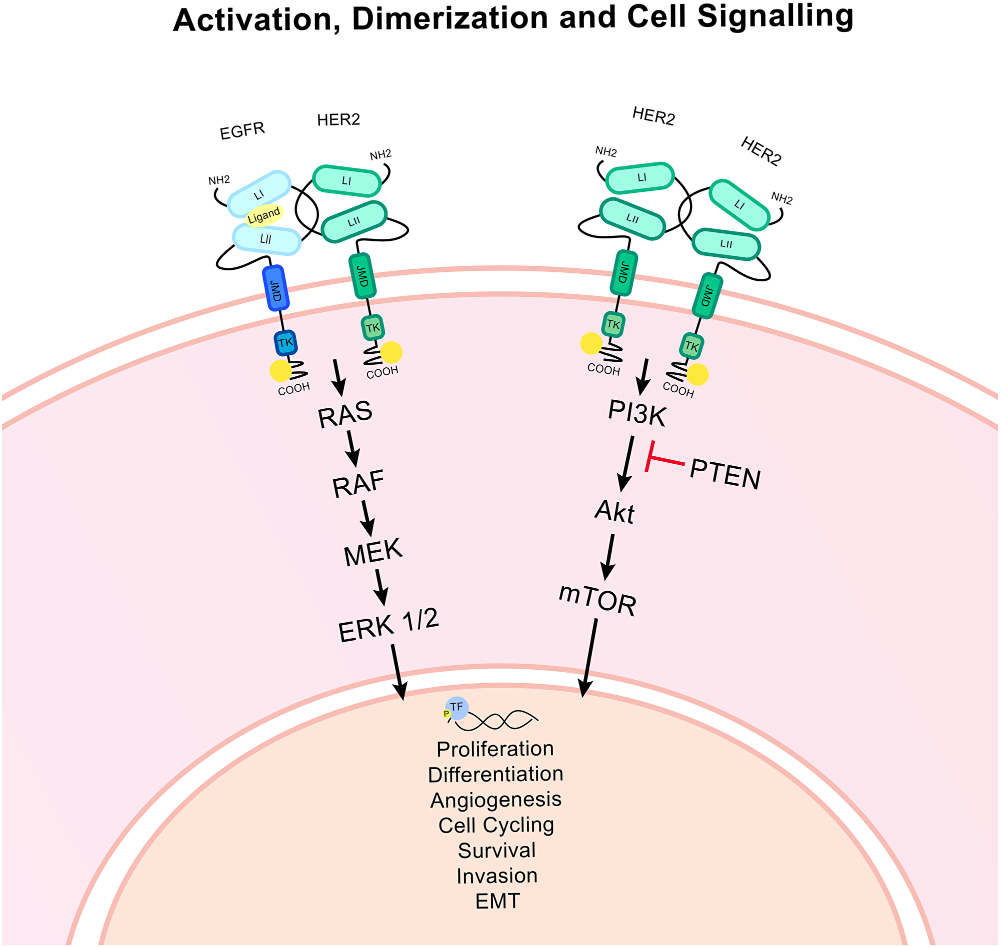 HER2 associated signalling pathways.