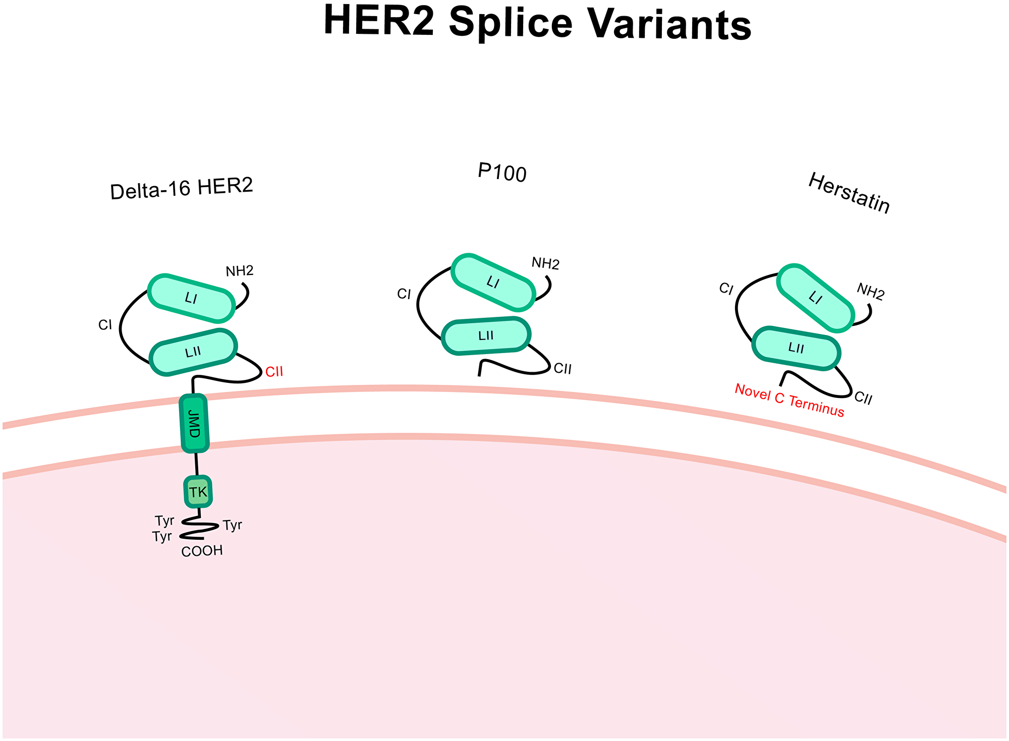 Structure of Δ16-HER2, P100 and herstatin splice variants.