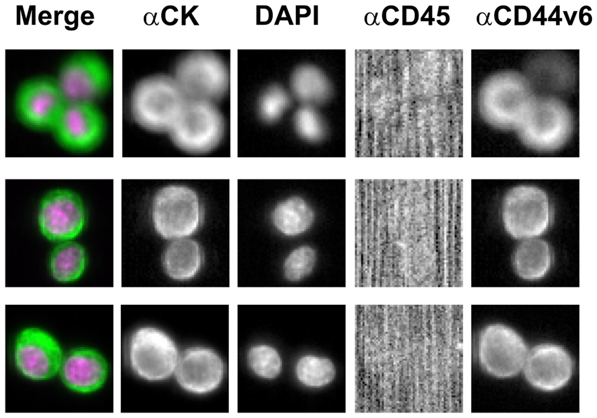 Illustrative images of CD44v6 immunostaining of MDA-MB-231 cell line through CellSearch® system (antibody concentration: 0.02 μg/mL; Exposure Time: 0.4 sec).