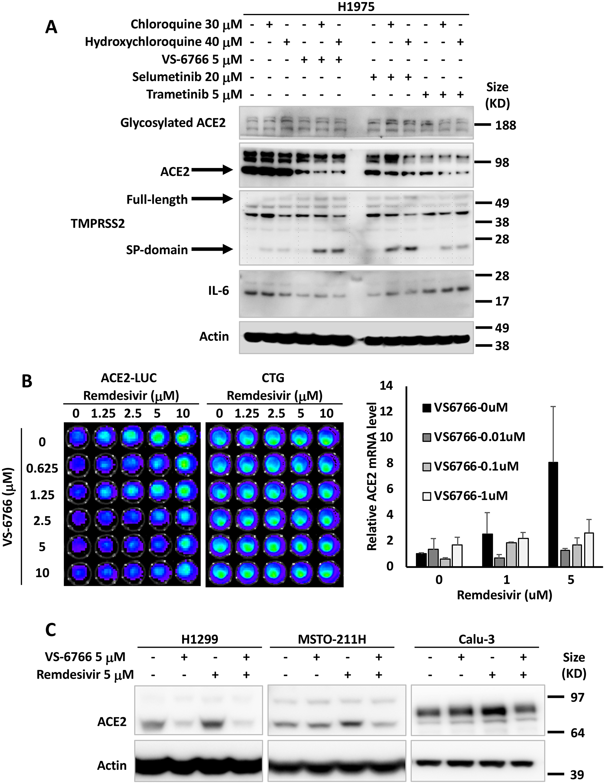 MEK inhibitors alone or in combination with remdesivir suppress ACE2 expression.