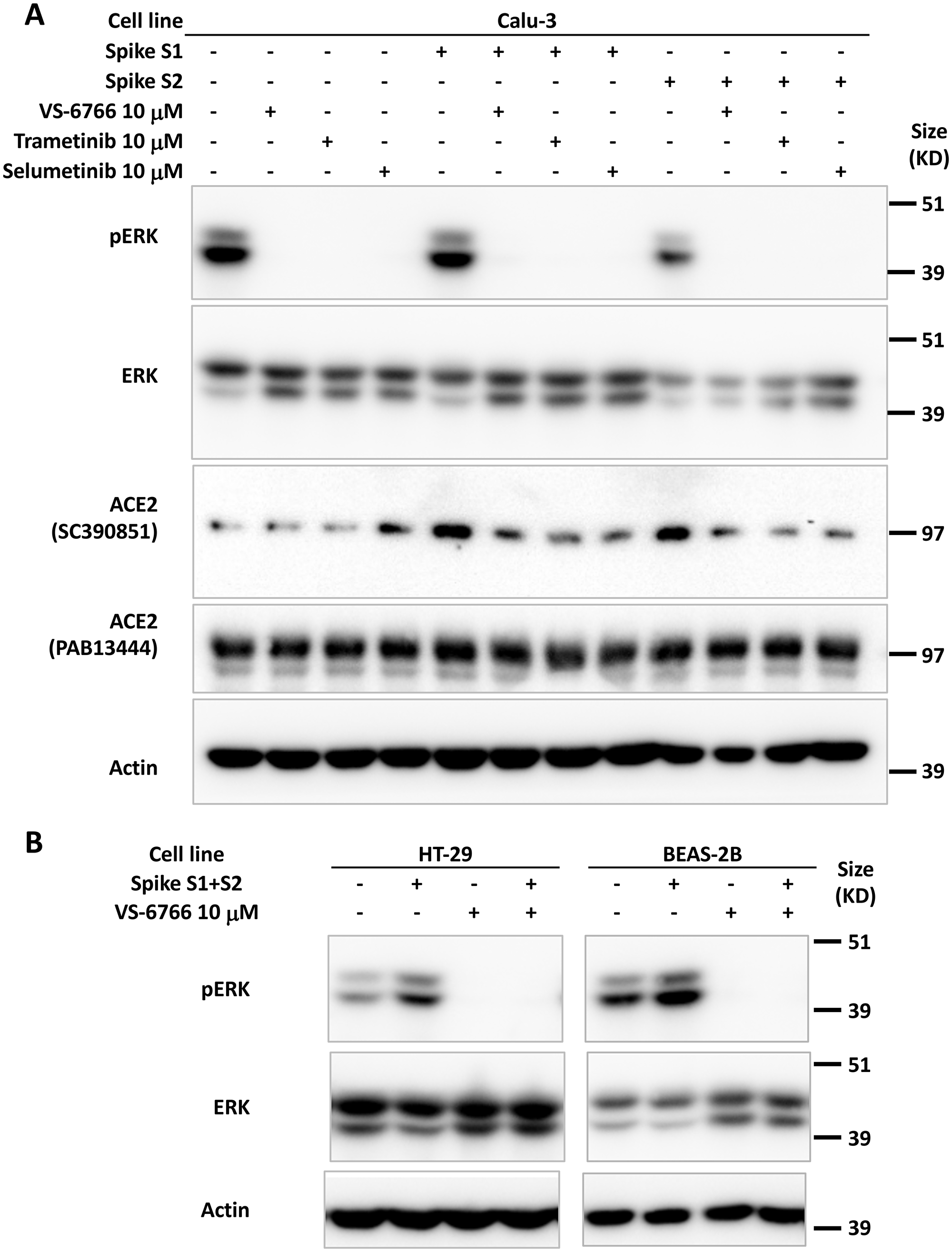 Increase in pERK by recombinant SPIKE protein is suppressed by MEK inhibition.