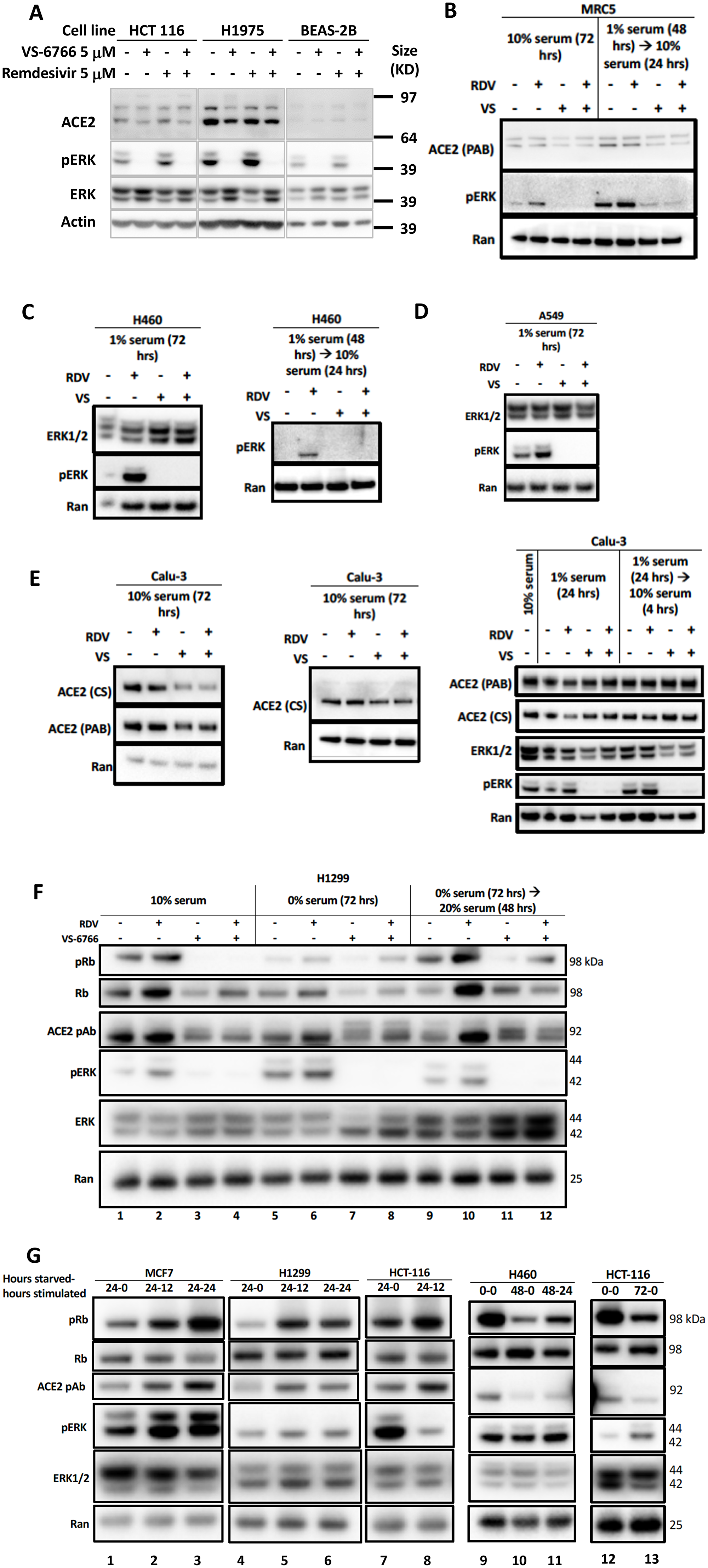 Reduced phospho-ERK and ACE2 expression by the combination of MEK inhibitor and remdesivir.