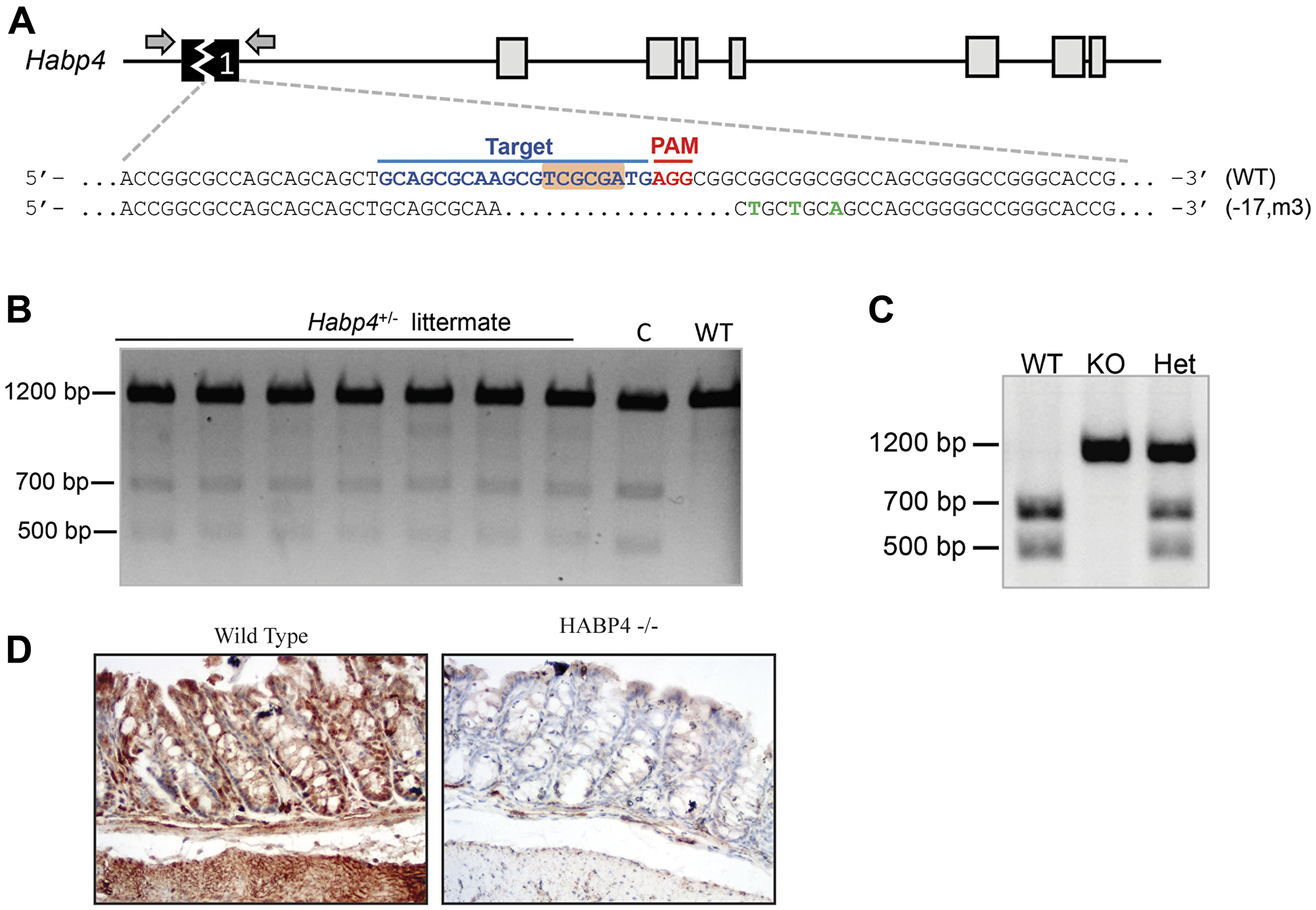 Generation of HABP4 knockout mice.