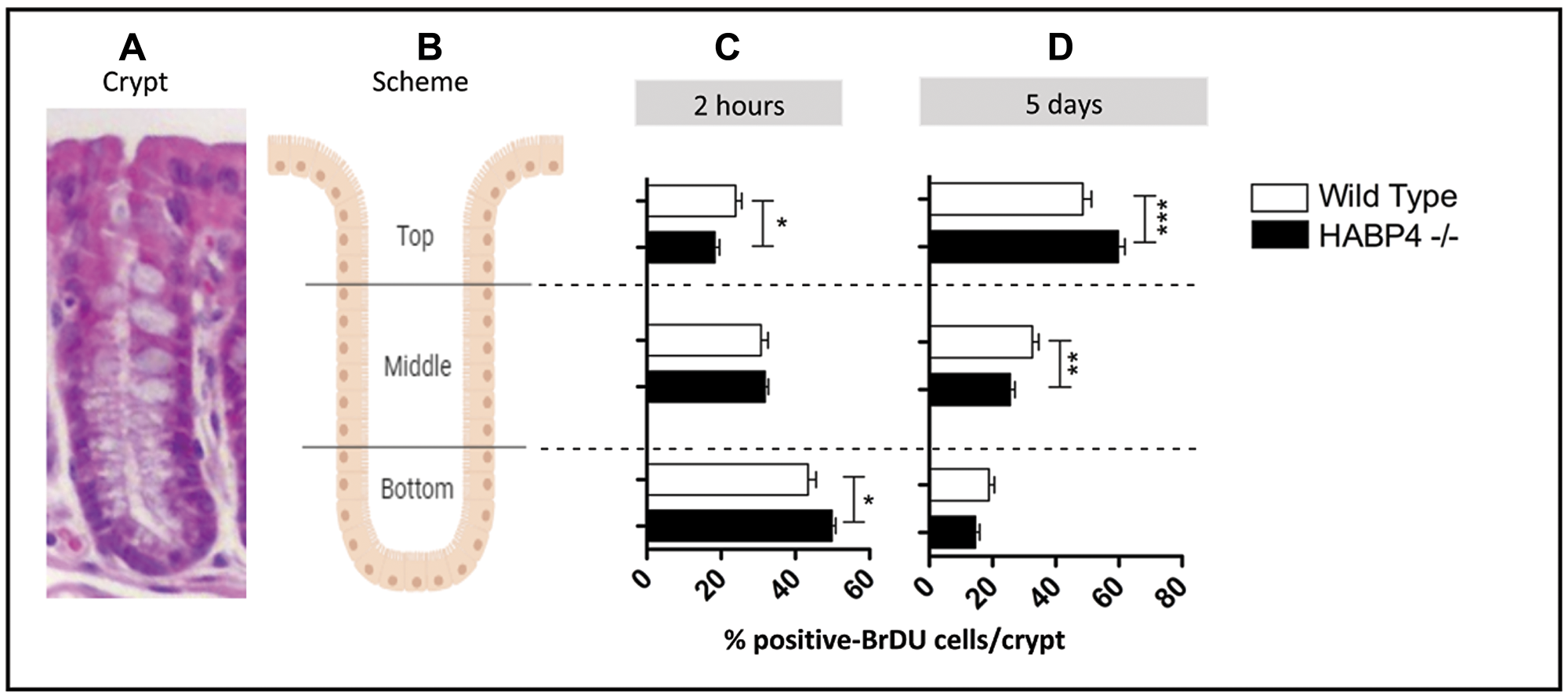 Increased proliferation in the colon epithelia of knockout mice.