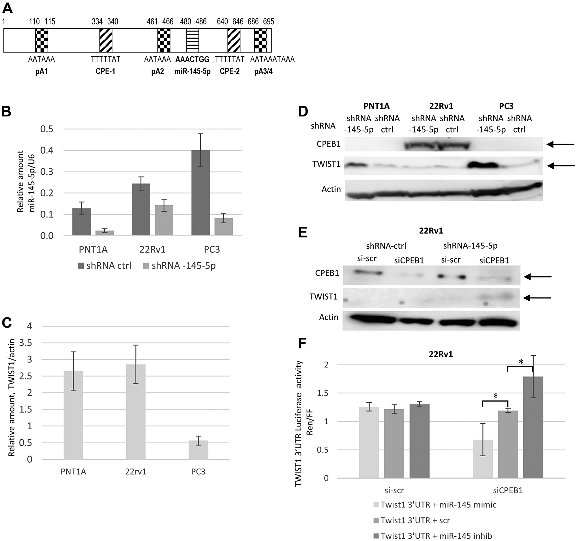 Interplay between miR-145-5p, CPEB1, and TWIST1 3′UTR regulation on TWIST1 expression in the PC3, 22Rv1 and PNT1A human prostate cell lines.
