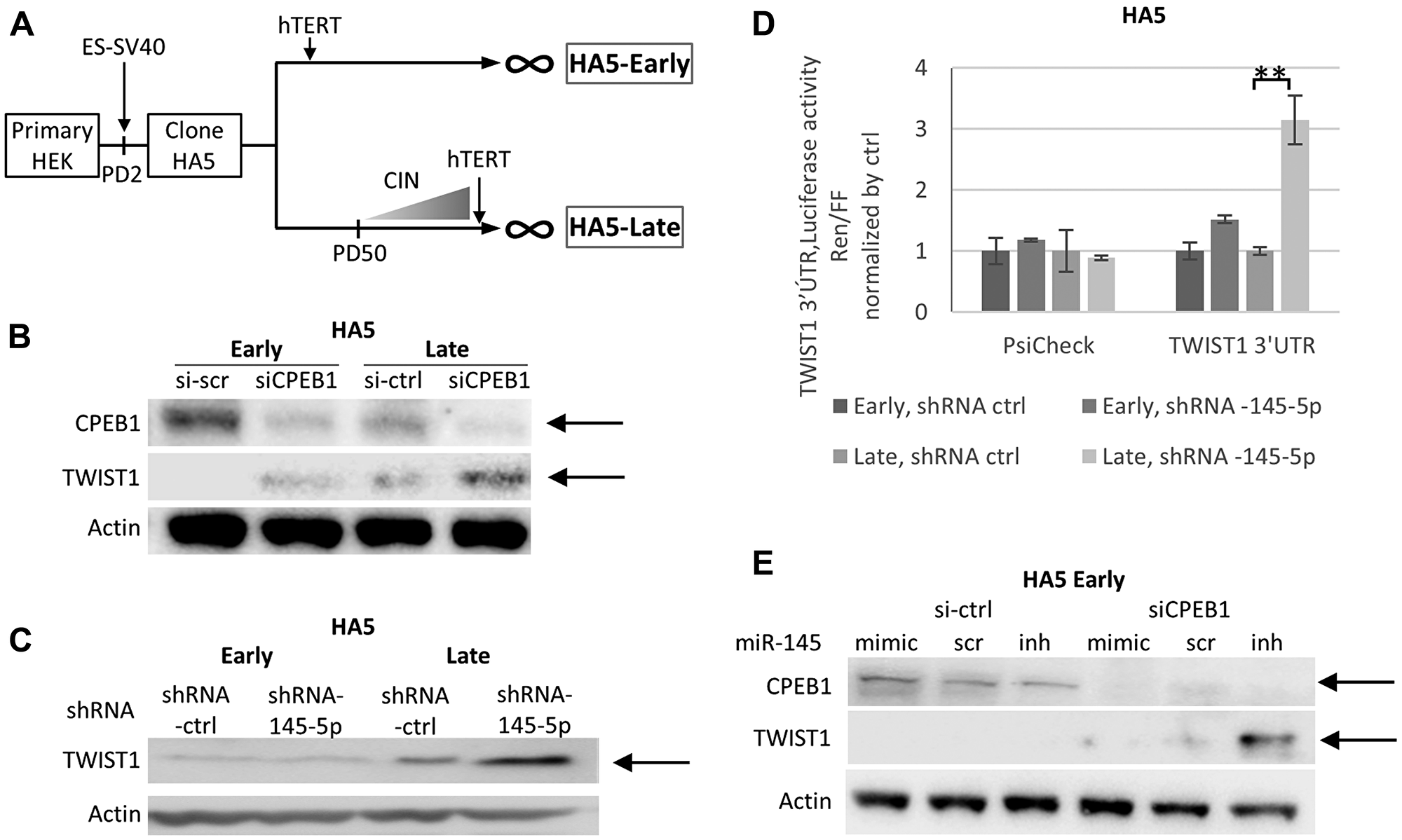 The CPEB1/Mir-145-5p interplay controls TWIST1 expression during telomere shortening in HEK cells.