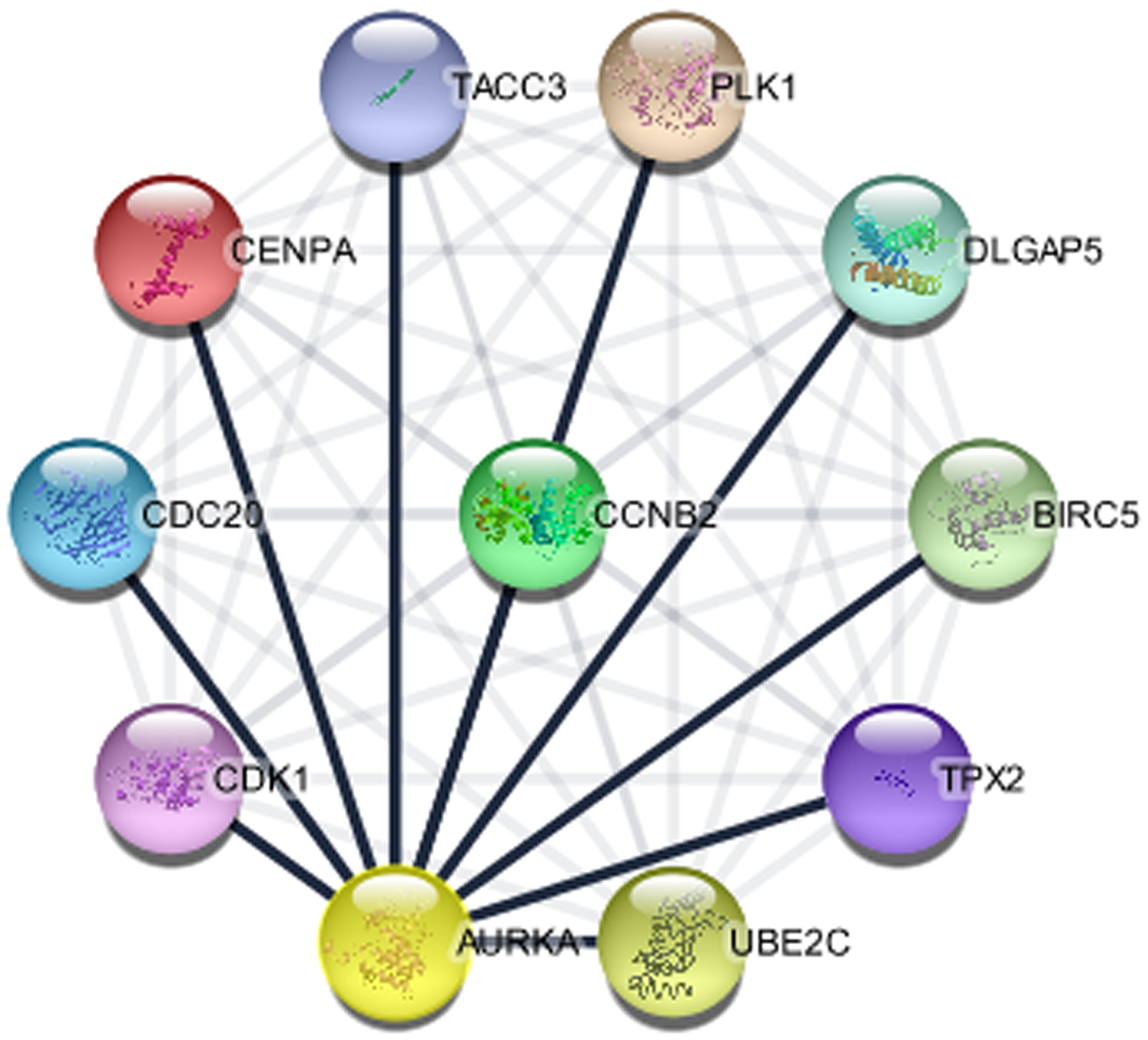 The protein interaction network of genes associated with AURKA (STRING in Cytoscape).