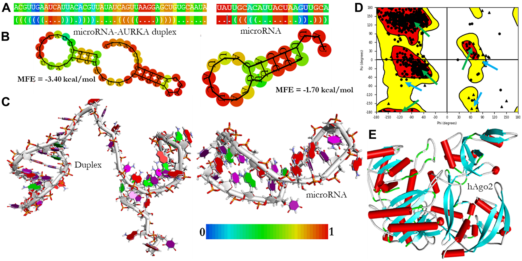The structural models of microRNA and microRNA-AURKA duplex.
