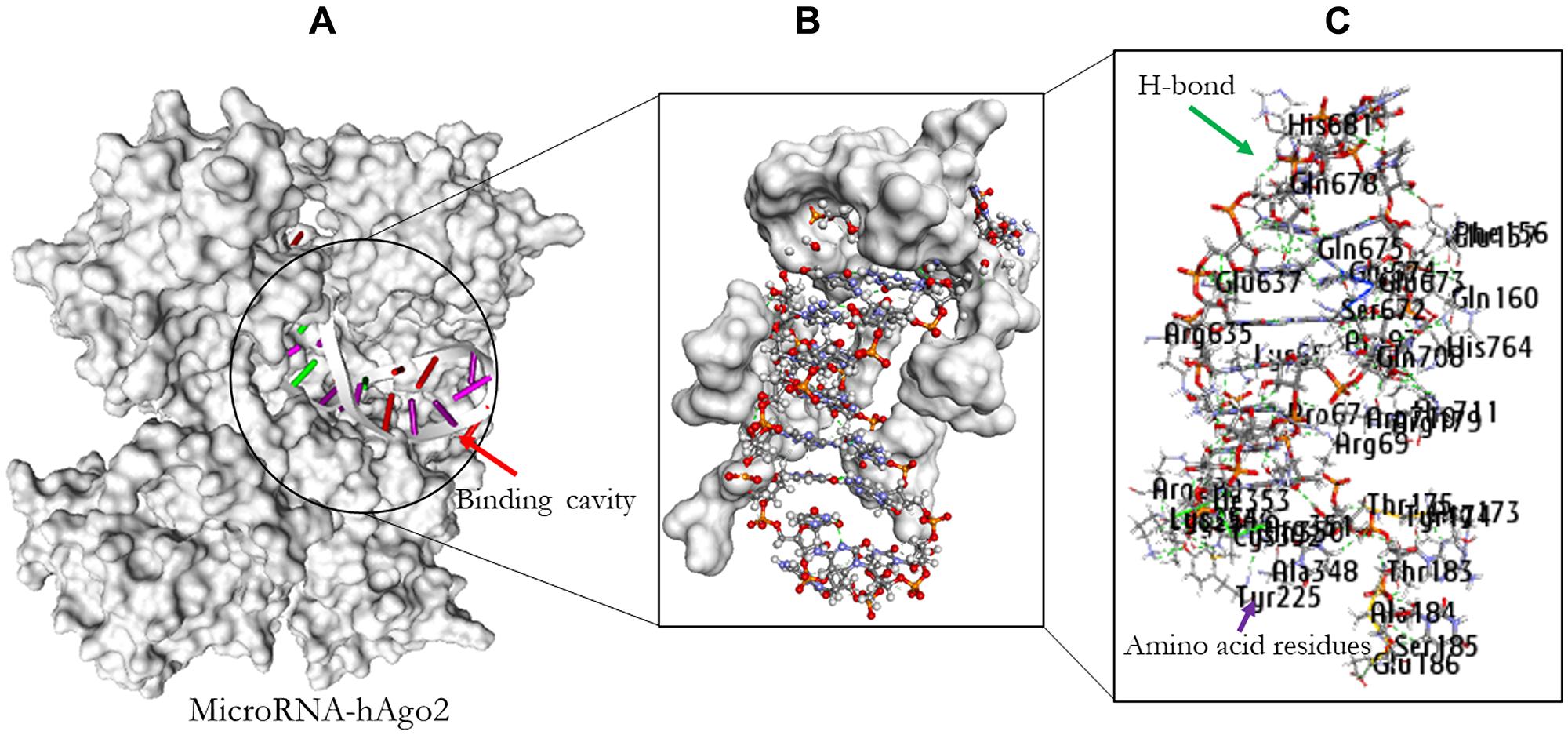 Molecular docking result of miR-32 and hAgo2.