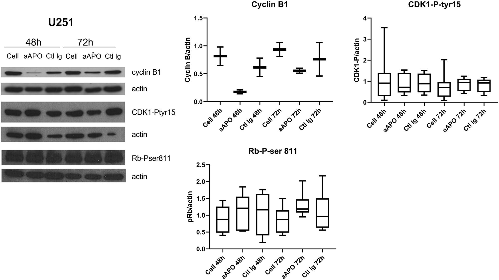 Anti-apo-A1 IgGs induced a down-expression of cyclin B1 in U251.