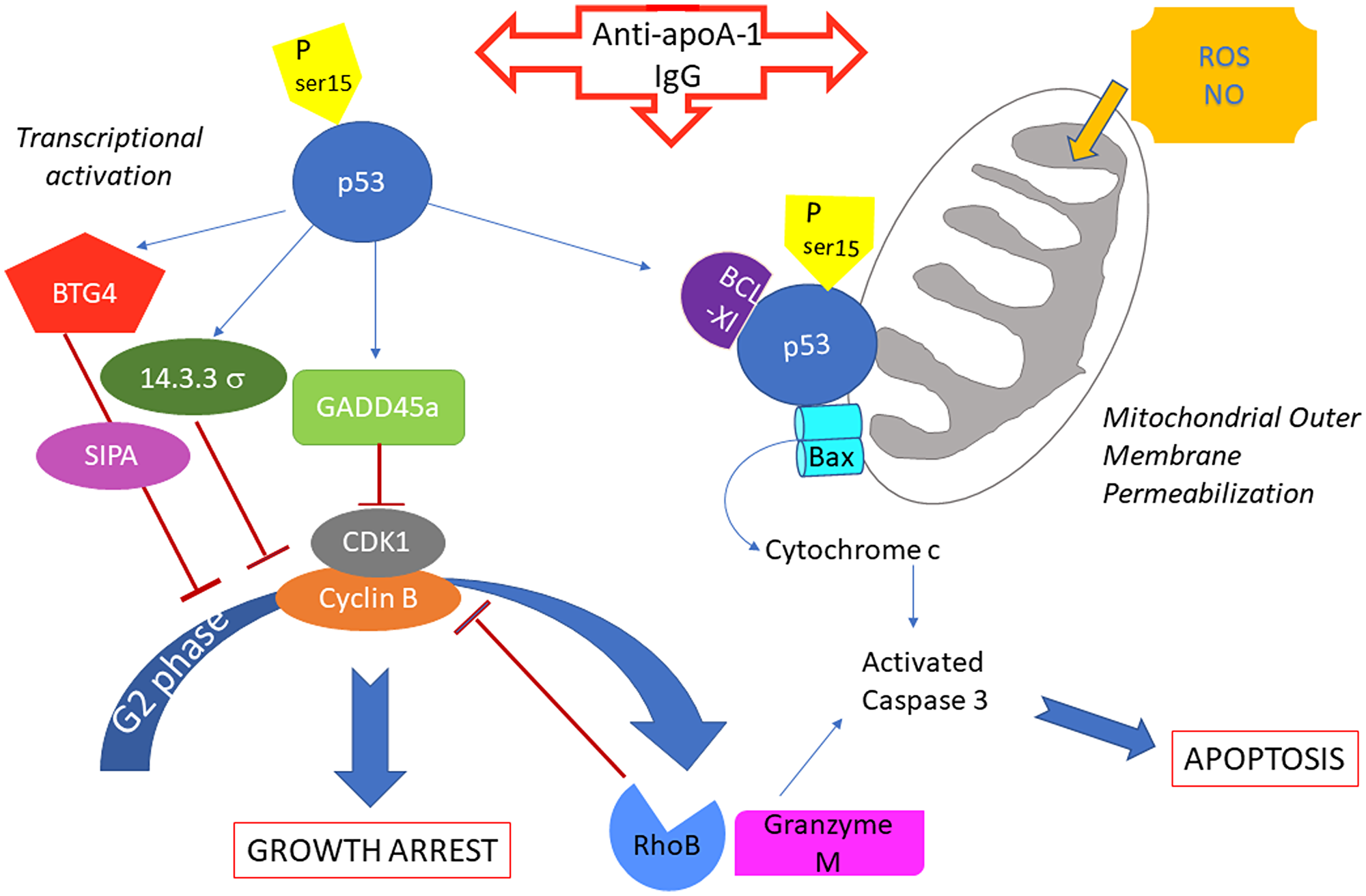Summary of potential anti-apoA-1 antibody induced signalings involved in cancer cell growth arrest and apoptosis.