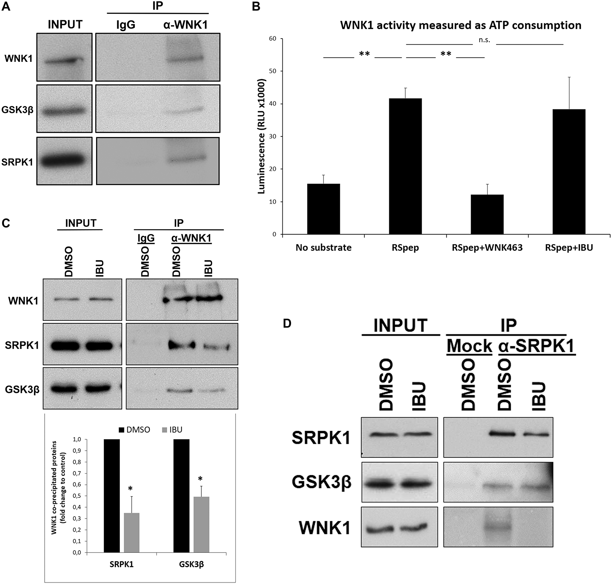 Ibuprofen impairs the interaction of WNK1 with GSK3β and SRPK1.