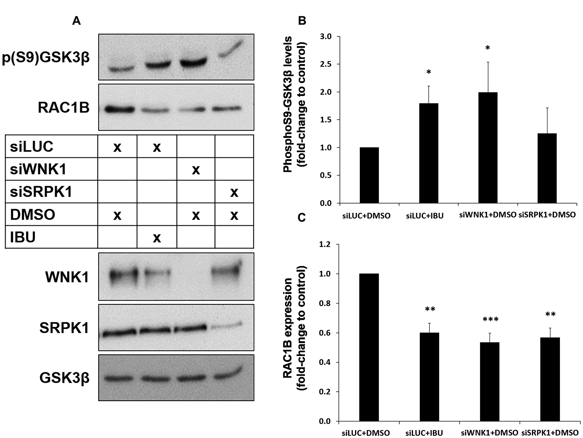 Both ibuprofen treatment or WNK1 depletion decrease RAC1B through GSK3β inhibition by S9 phosphorylation.
