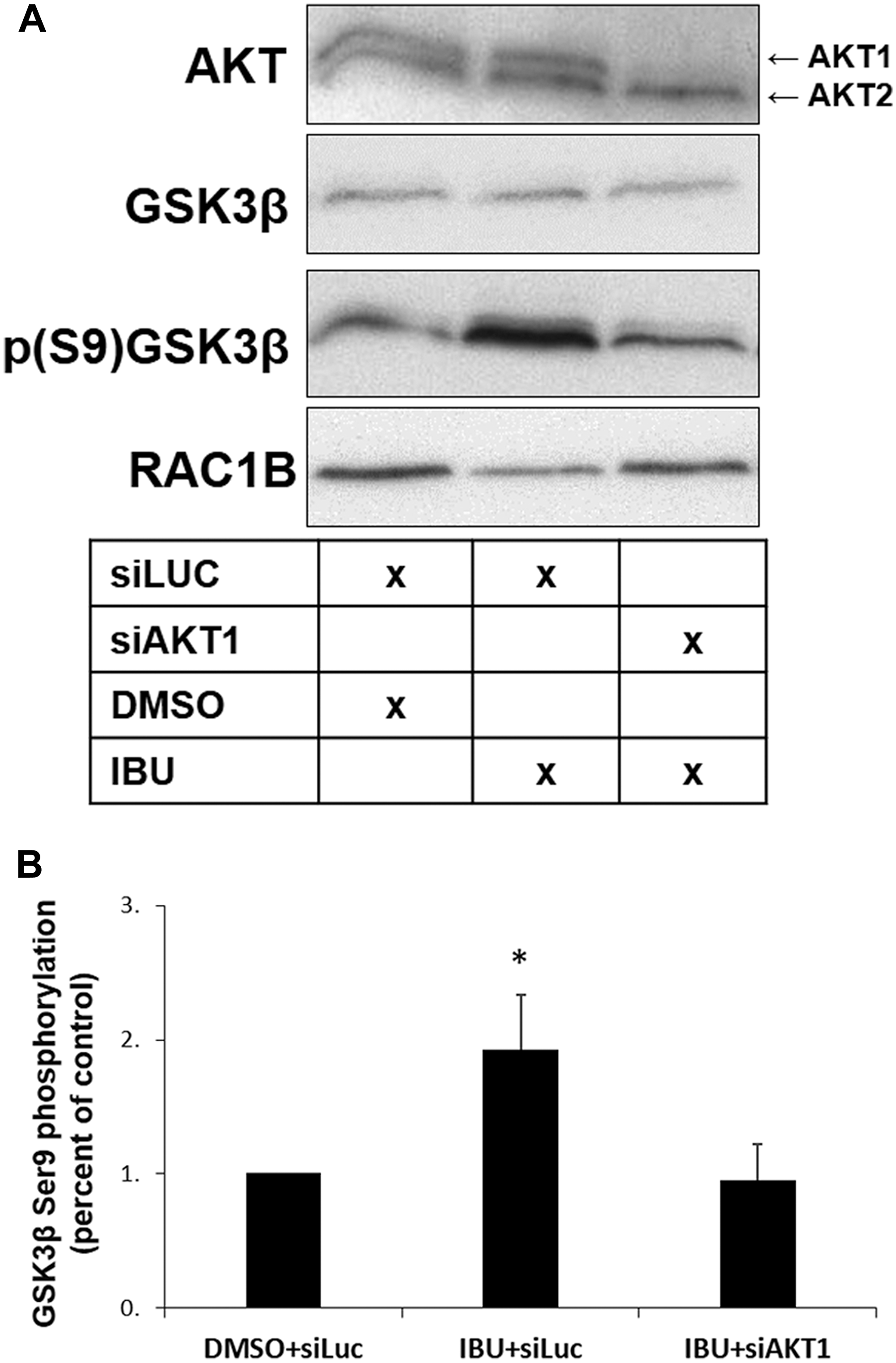 AKT1 is required for GSK3β S9 phosphorylation in ibuprofen-treated cells.
