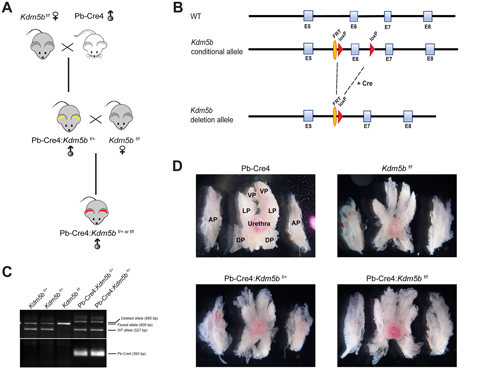 Generation of conditional Kdm5b knockout mice.