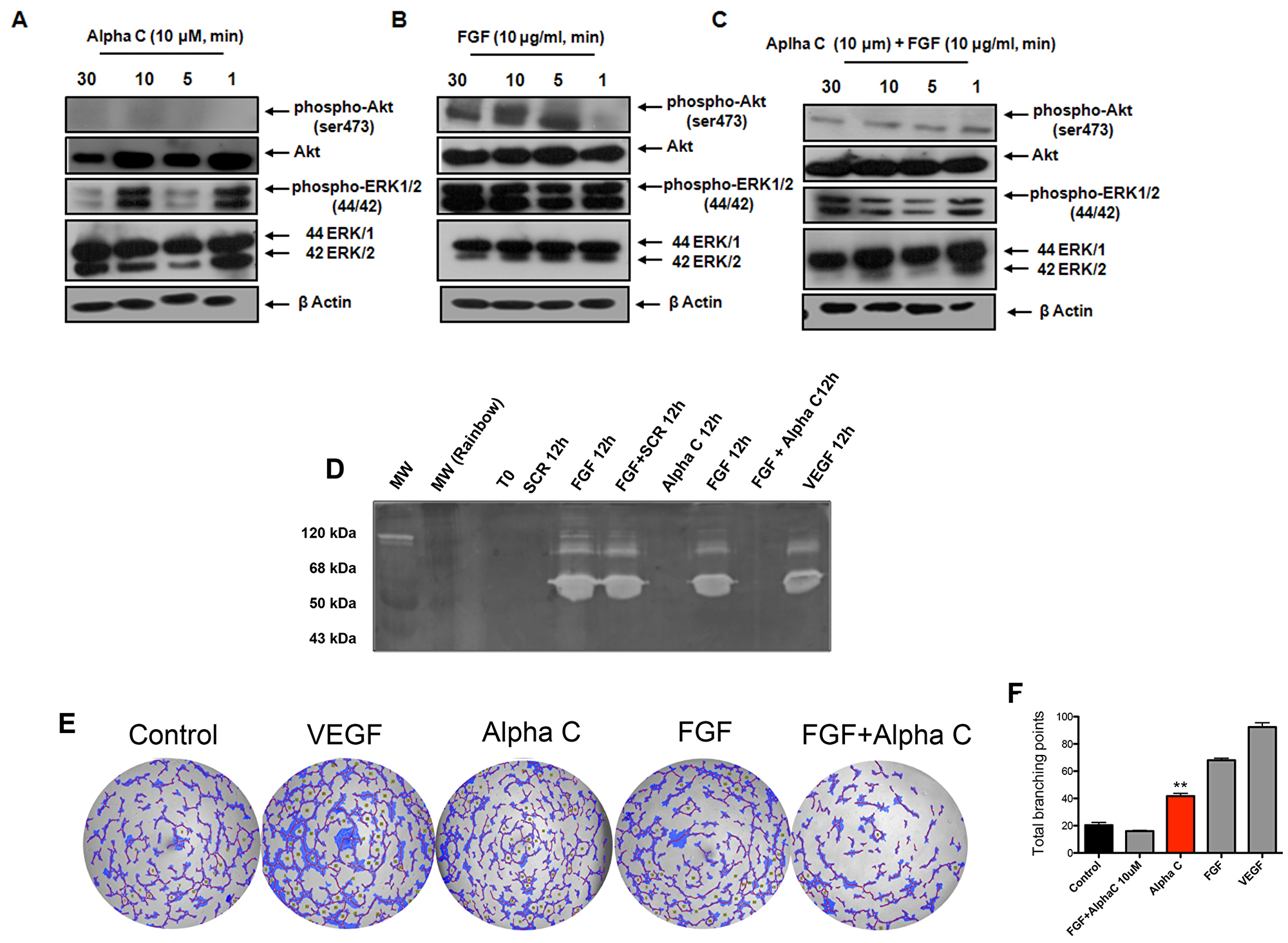 Alphastatin-C blocks ERK and Akt activation by FGF and inhibits FGF-triggered MMPs secretion and tubulogenic activity.