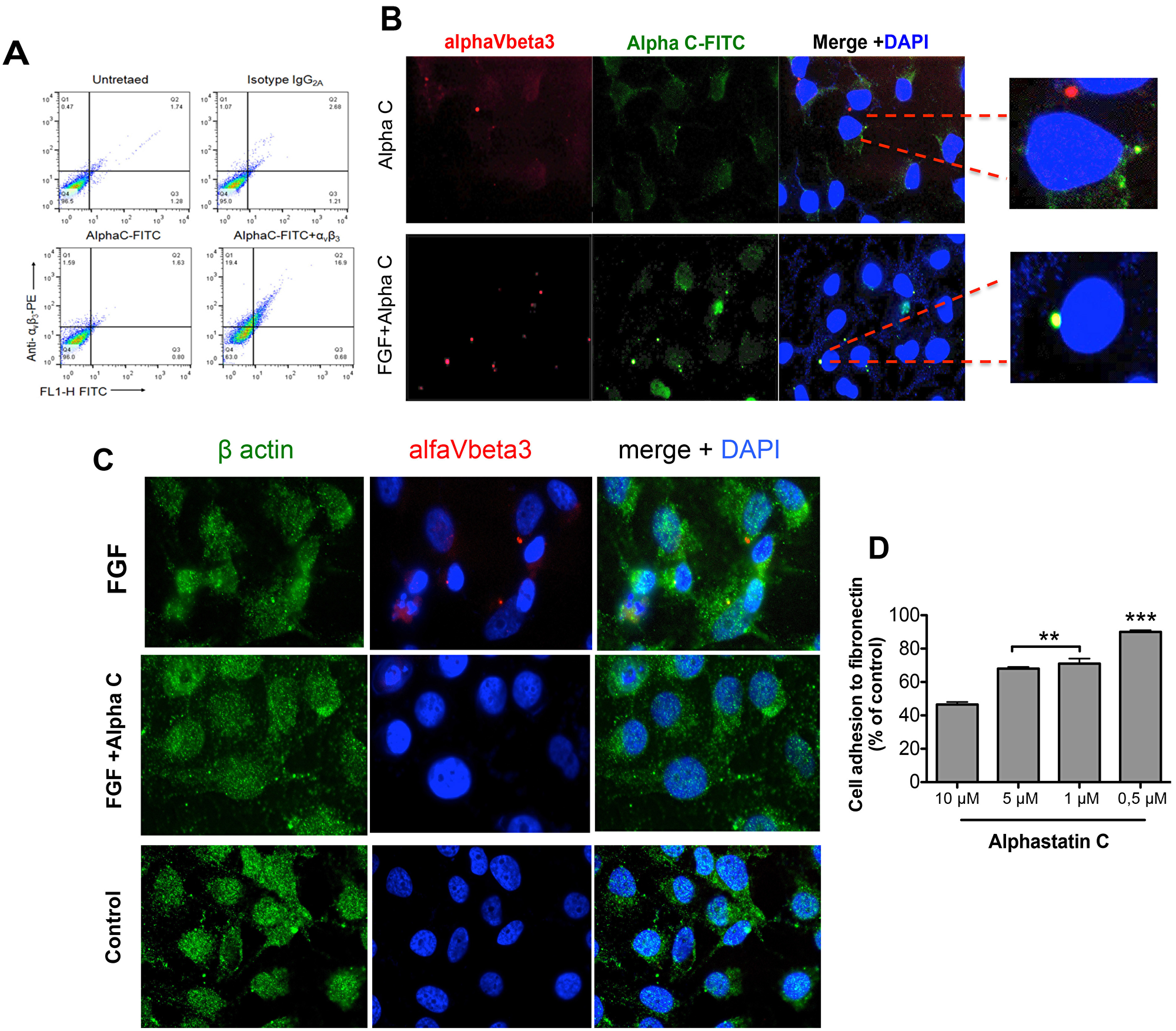 Alphastatin-C uncouples FGF-induced integrin V3 clustering and co-localizes with this integrin in the presence of bFGF.