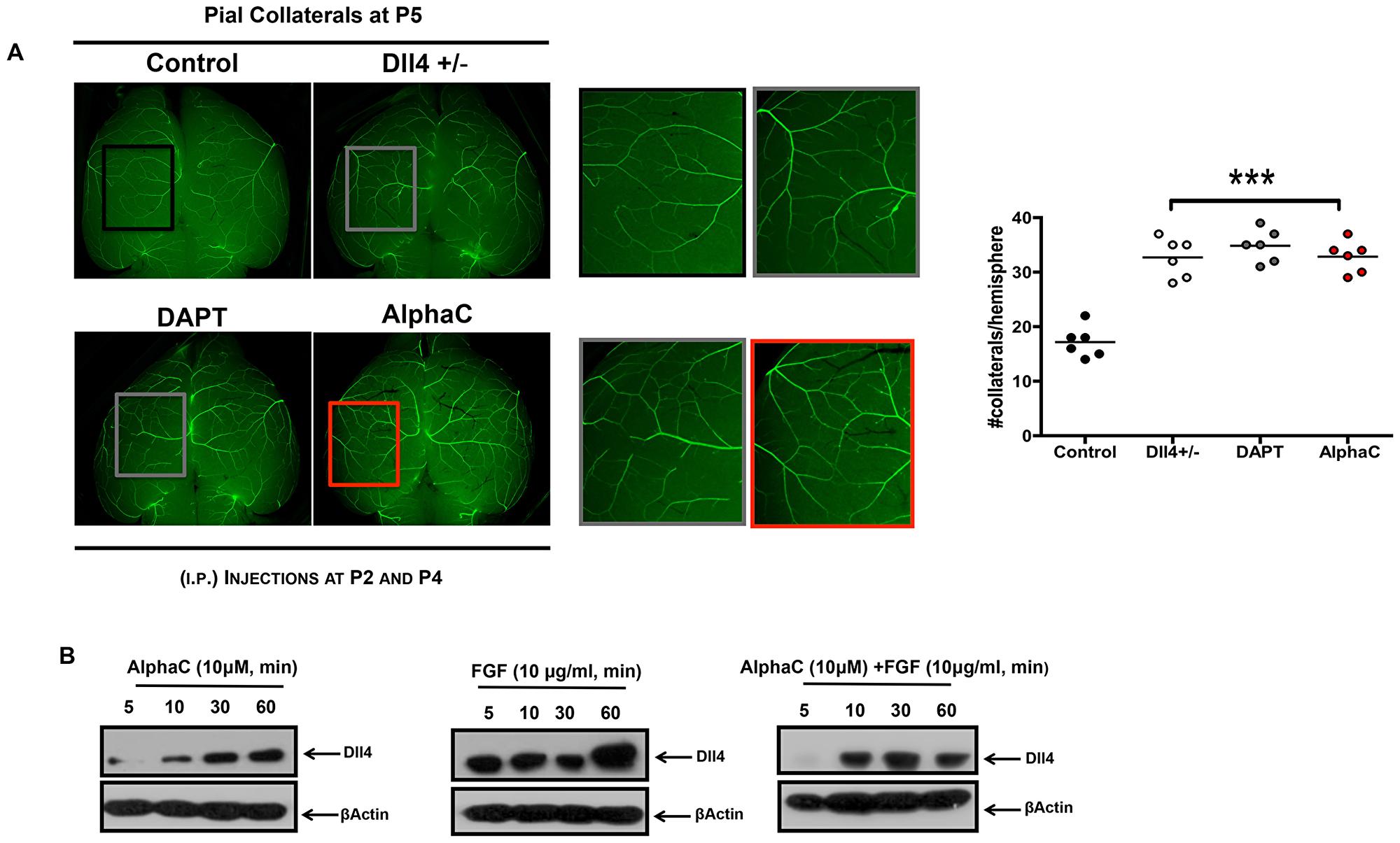 Alphastatin-C increases pial arteriolar formation in vivo.