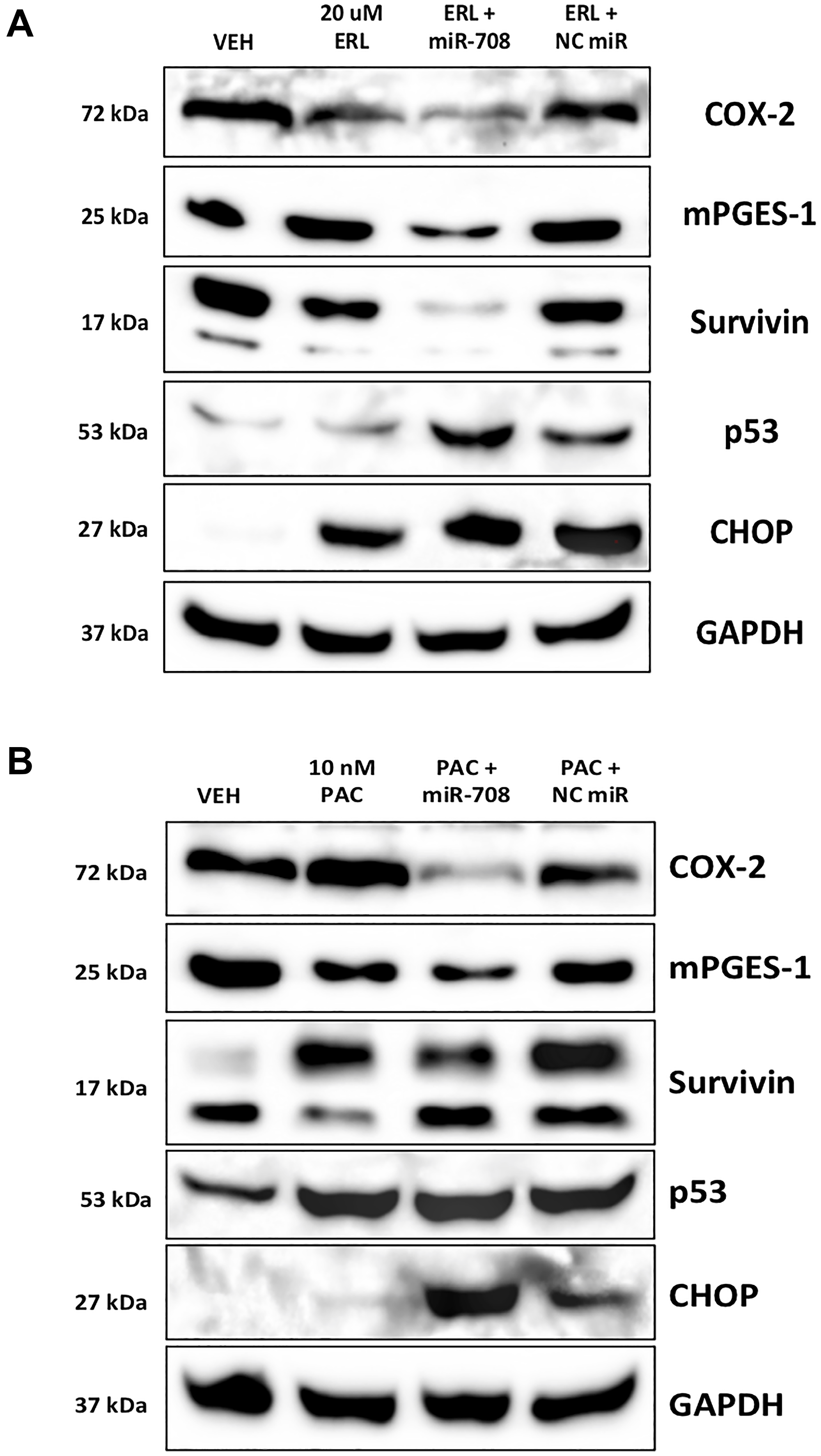 miR-708-5p enhances ERL/PAC regulation of AA pathway and apoptotic signaling expression in lung cancer cells.