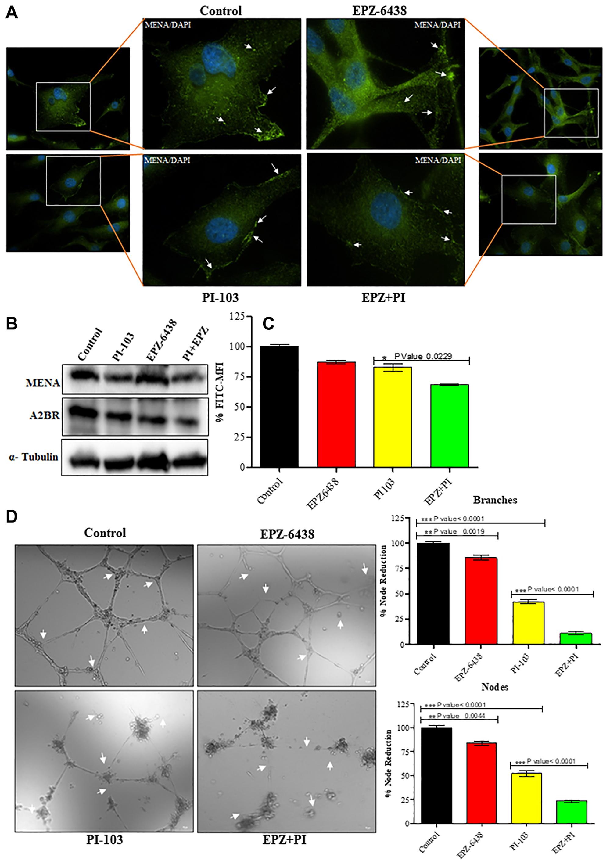 Treatment of EPZ and PI-103 inhibits the angiogenesis.