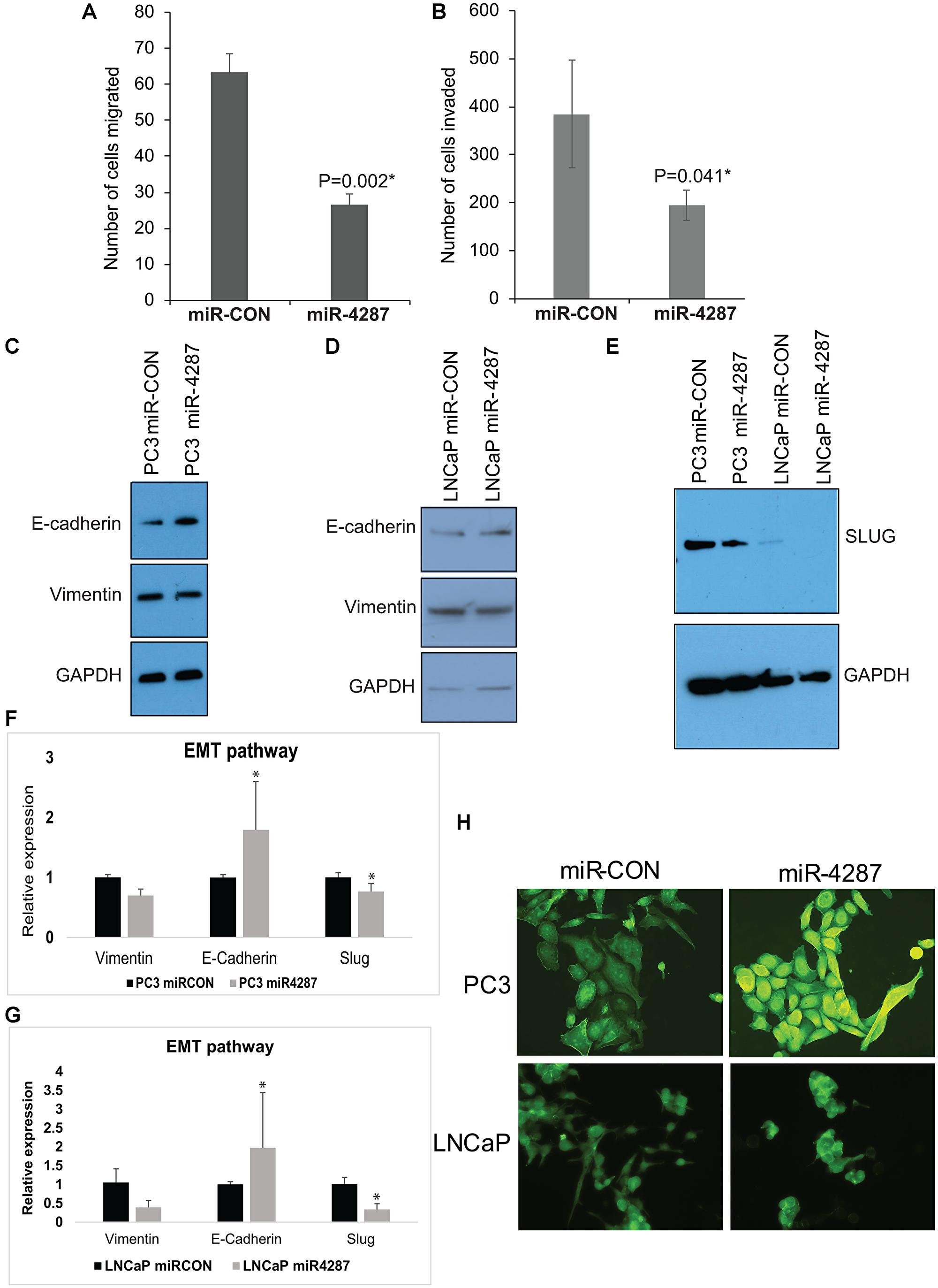 miR-4287 overexpression regulates EMT in prostate cancer cell lines.