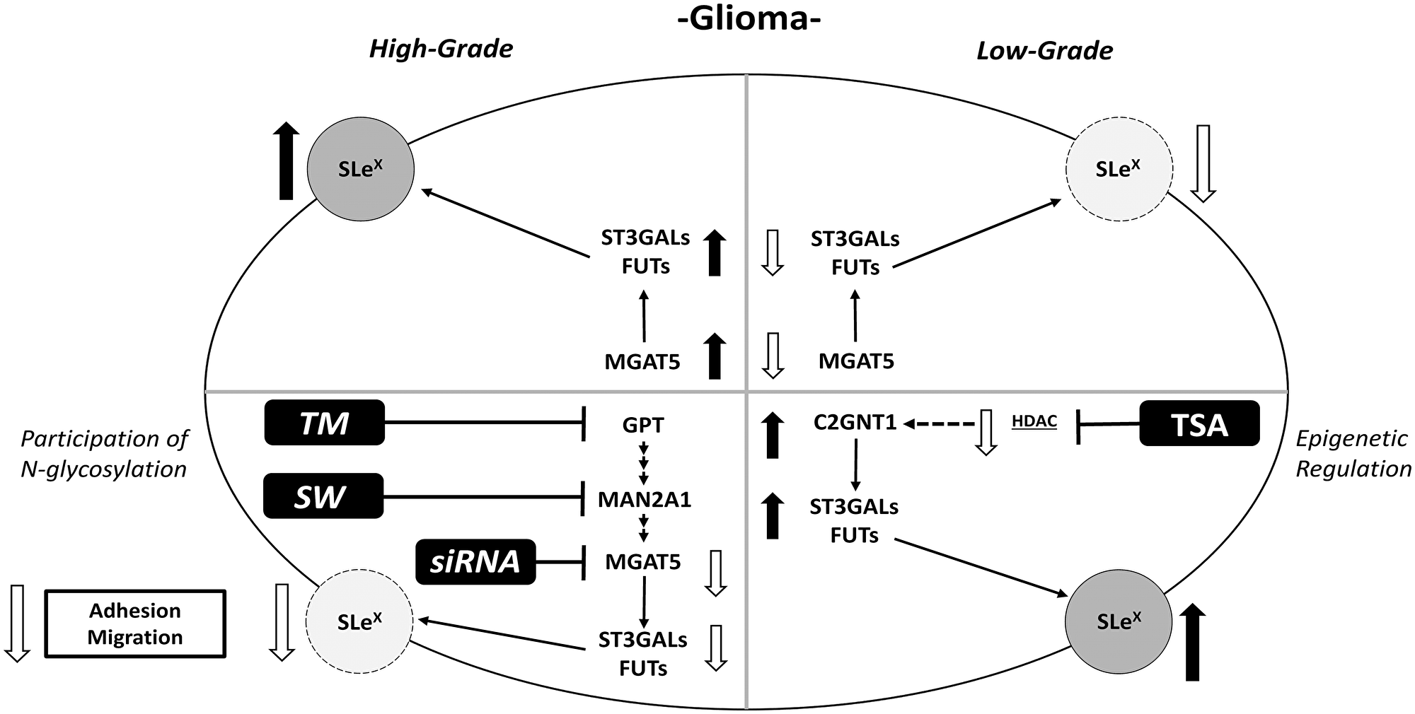 Schematic illustration of results obtained for Lewis glycans and expression of glycosyltransferases in treated and untreated high- and low-grade glioma cells.
