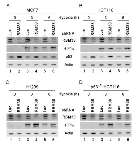 HIF1α expression is increased by knockdown of RBM38 under a hypoxic condition.