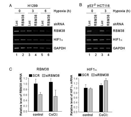 Knockdown of RBM38 has no effect on the level of HIF1α mRNA.