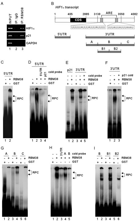 RBM38 directly binds to HIF1α 5′ and 3′ UTRs.