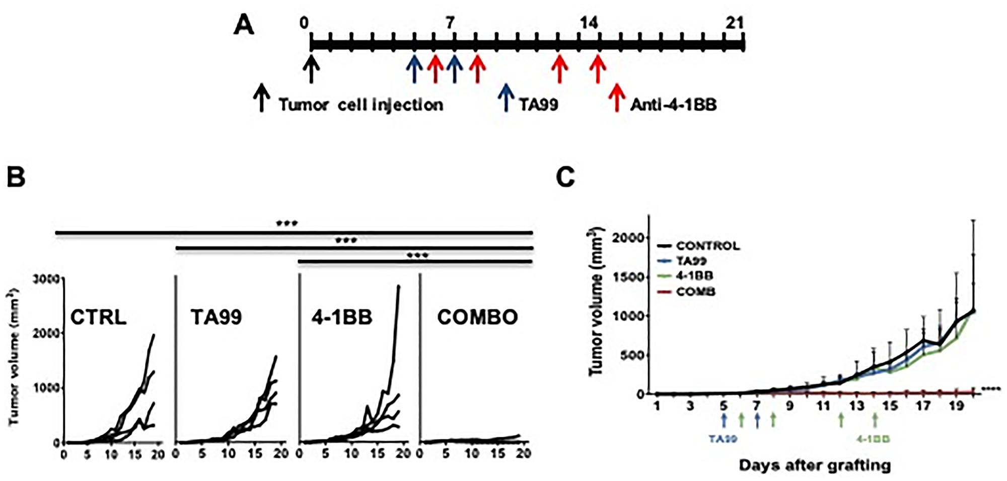 Anti-4-1BB/CD137 agonistic mAb enhanced the anti-tumor effects of TA99 in B16 subcutaneous melanomas.