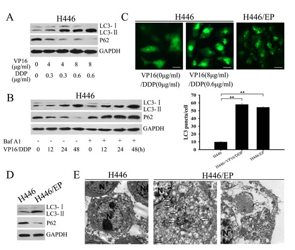 H446/EP cells exhibited heightened autophagy.