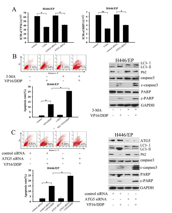 Inhibition of autophagy enhanced sensitivity of H446/EP cells to VP16 and DDP.