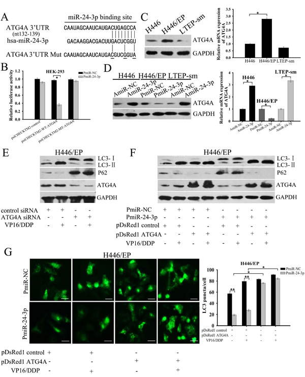 Mir-24-3p suppresses autophagy by directly targeting ATG4A.
