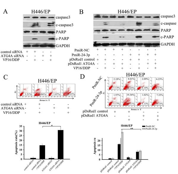 MiR-24-3p altered the sensitivity of SCLC cells to apoptosis through by ATG4A.