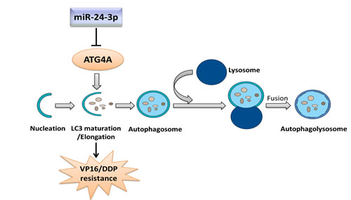 Mechanism through which miR-24-3p modulates VP16–DDP resistance by regulating autophagy.