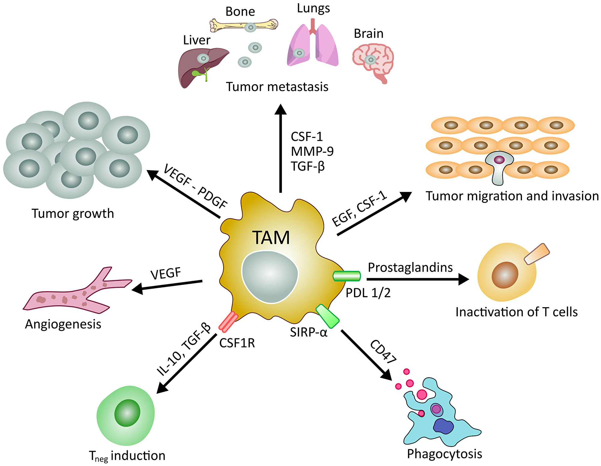 Main roles of tumor associated macrophages in cancer development and manteinance.
